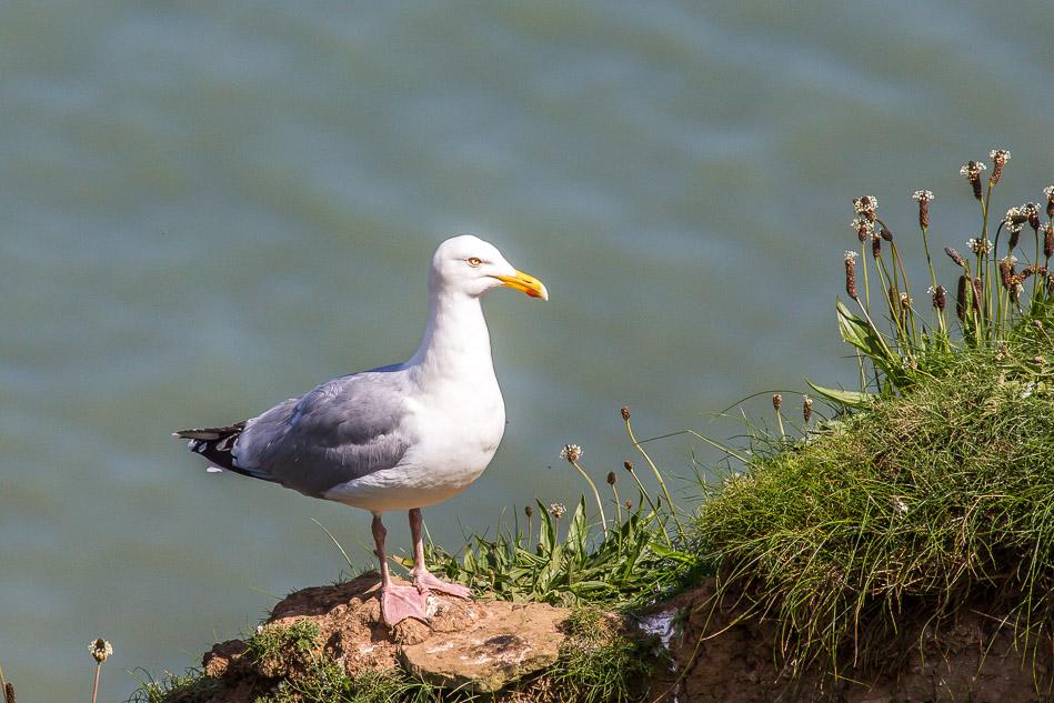 Herring Gull, Bempton Cliffs