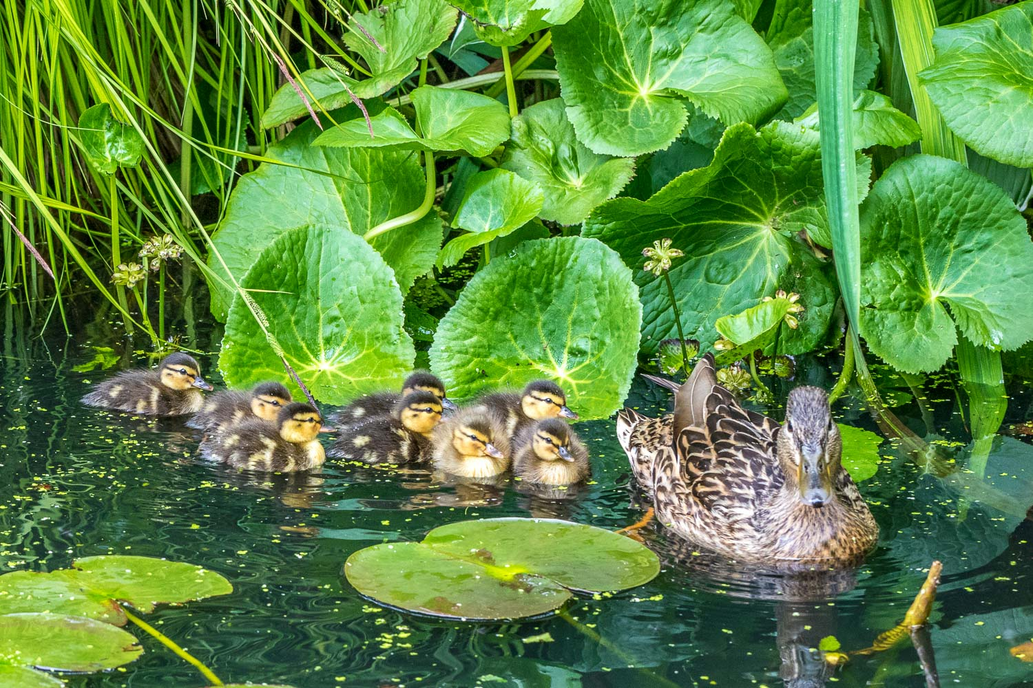 8 ducklings on our pond