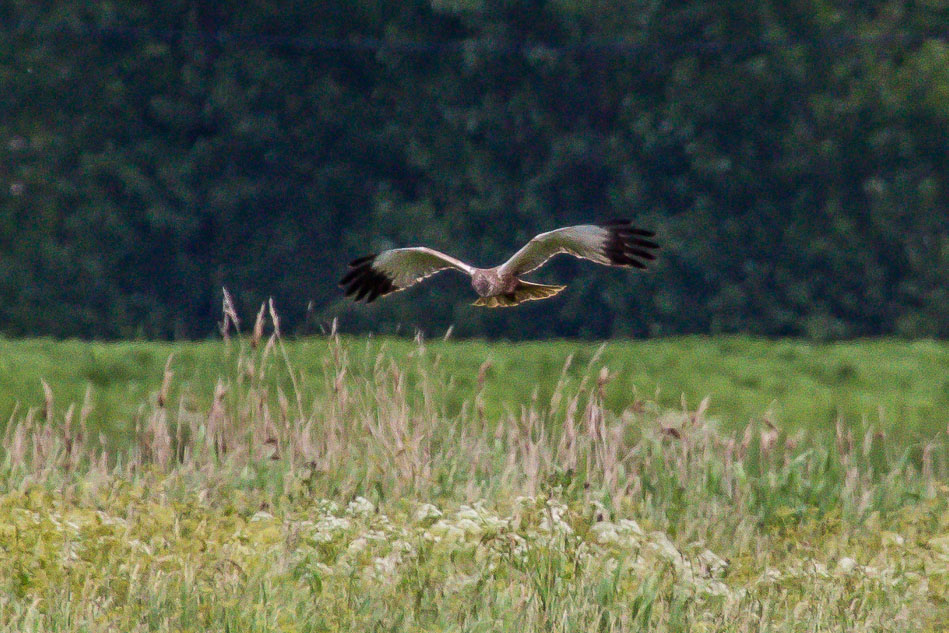 Marsh Harrier, Blacktoft Sands
