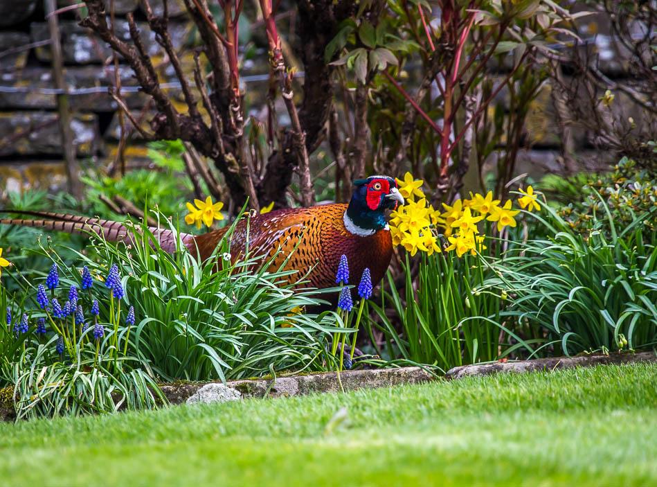 Pheasant in the garden