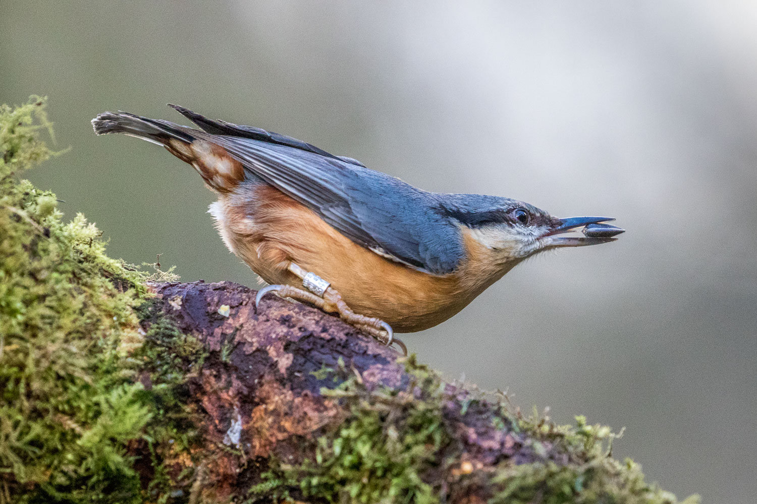 Nuthatch, Forge Valley