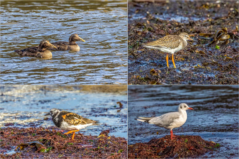 Eider Duck (female), Common Sandpiper, Turnstone and Black Headed Gull in Craster harbour