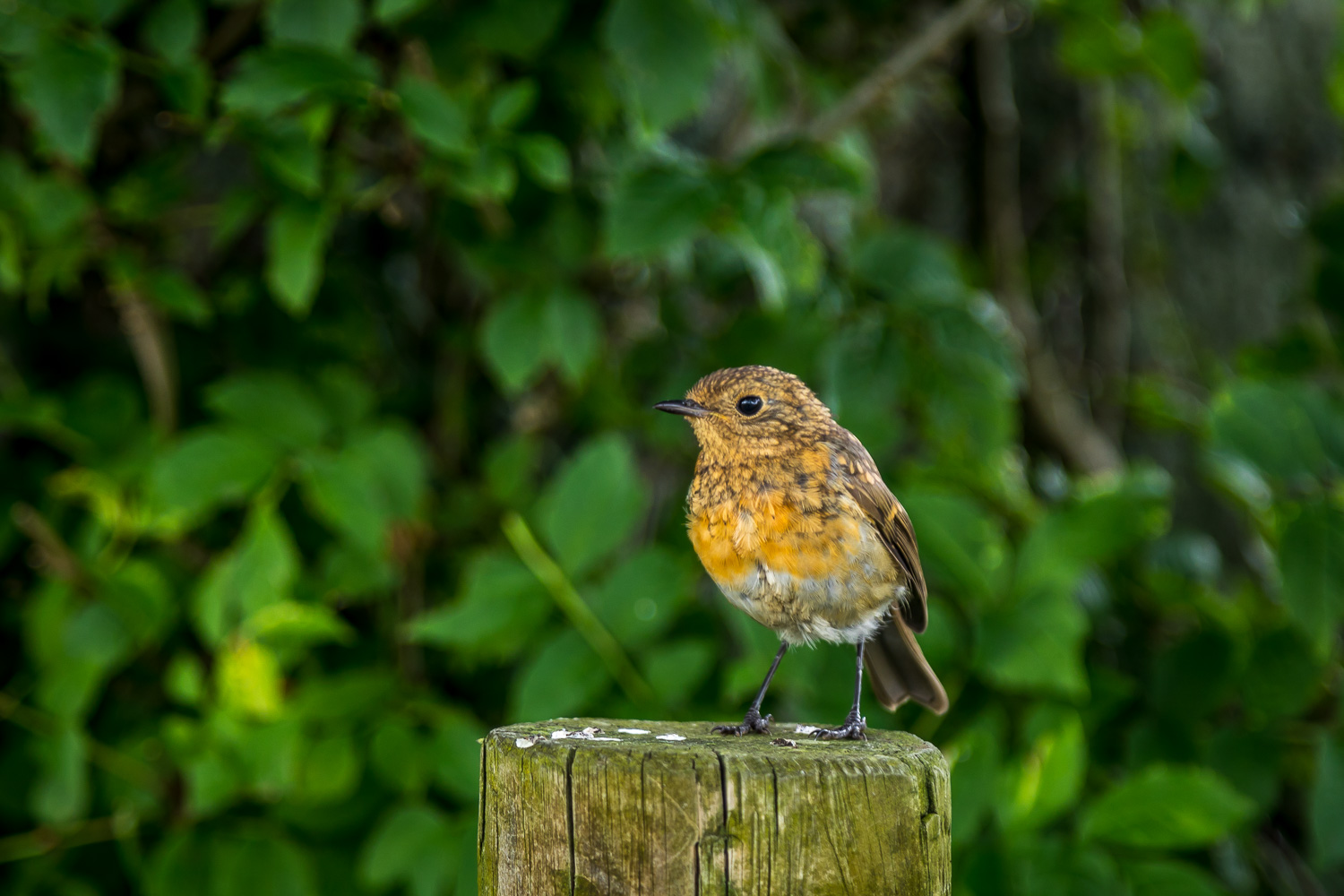 Young robin in the garden
