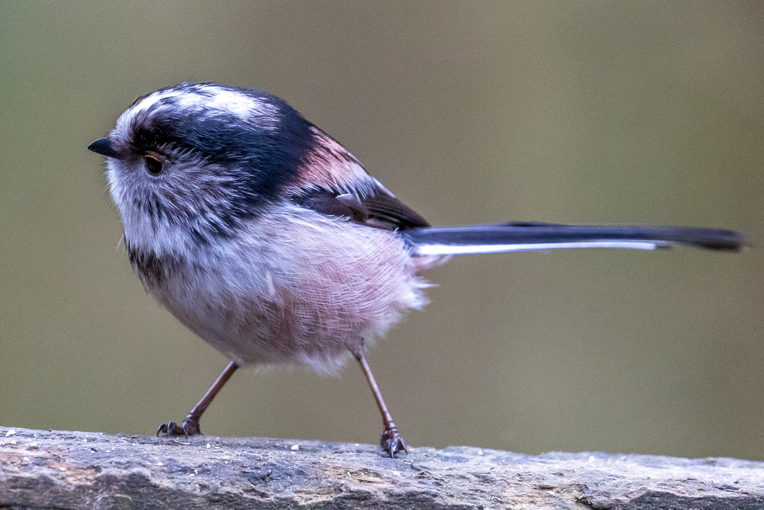 Long tailed tit in the garden
