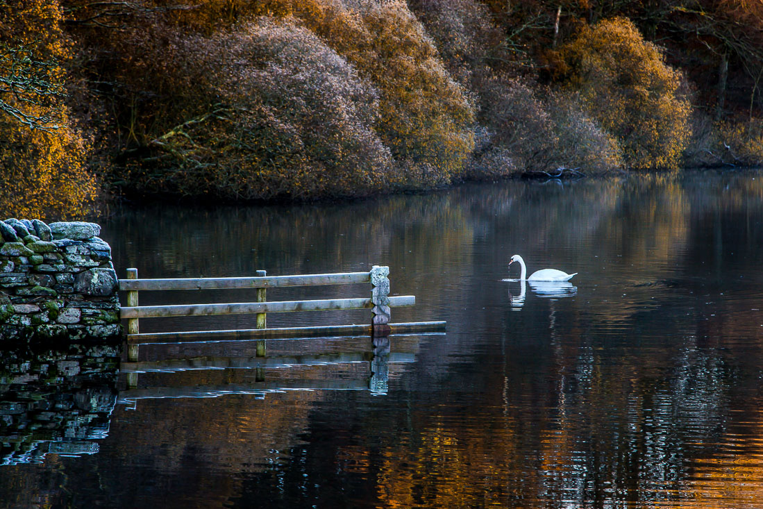 Swan on Loweswater