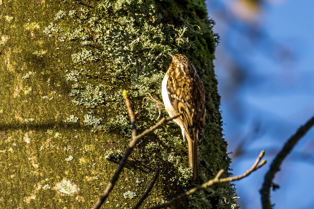 Treecreeper, Loweswater