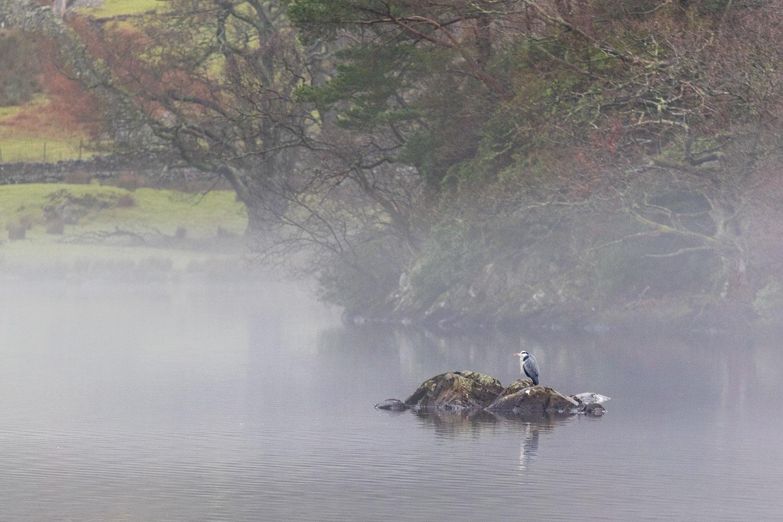 Heron on Rydal Water