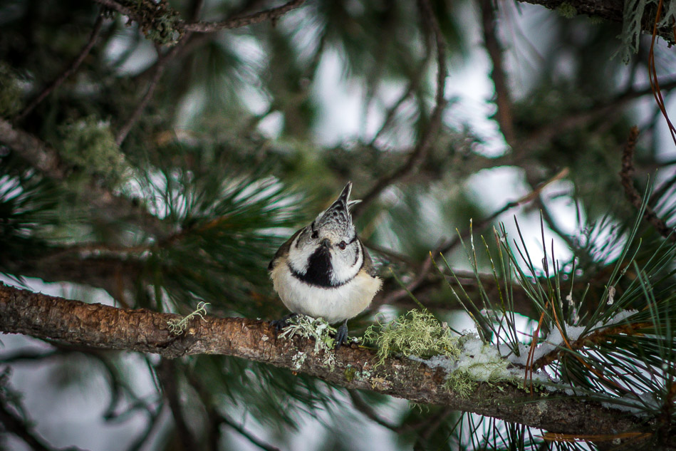 Crested Tit, Swiss Alps