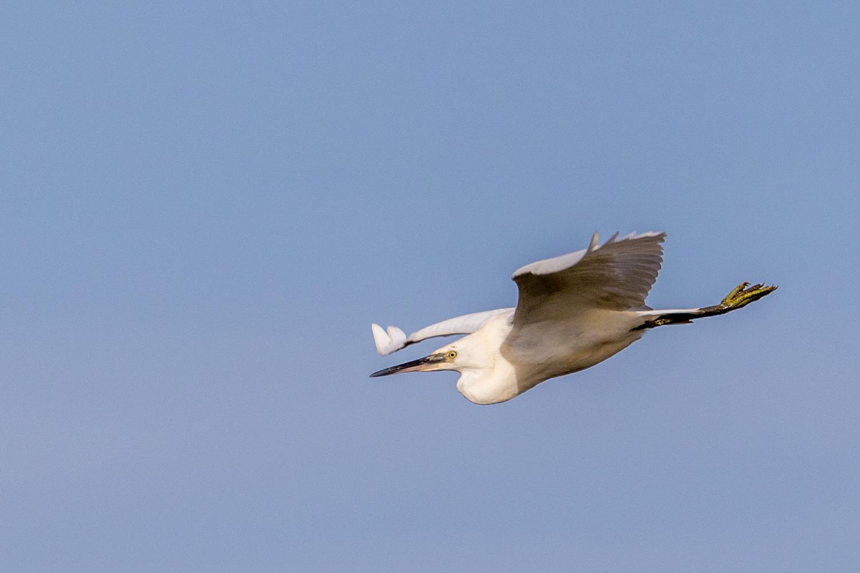 Little Egret near Thornham
