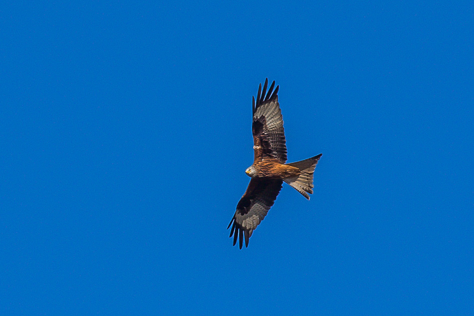 Red Kite, Yorkshire Wolds