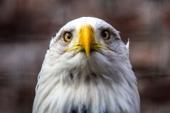 Bald Eagle, Askham Hall