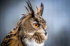 Eagle Owl, Askham Hall