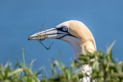 Gannet gathering nesting material on Bempton Cliffs
