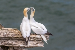 Pair of gannets,  Bempton Cliffs