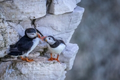 Pair of puffins on Bempton Cliffs