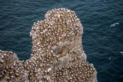 Nesting Gannets, Bempton Cliffs