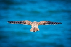 Kestrel, Flamborough Head