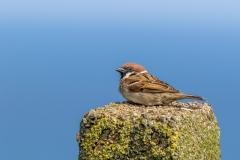 Tree Sparrow, Bempton Cliffs