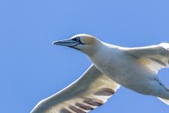 Gannets near Bridlington