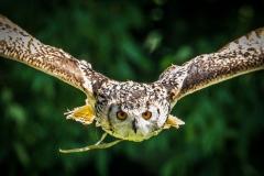 Eagle Owl, Bolton Castle
