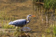 Heron, Boredale