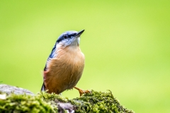 Nuthatch in the garden