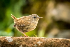 Wren in the garden
