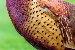 Pheasant plumage