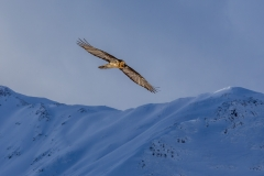 Bearded Vulture, or Lammergeier in the Swiss Alps