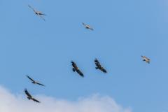 Griffon Vulture, Andalucia