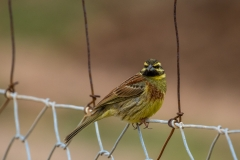 Cirl bunting, Mortitx