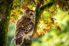 Tawny Owl, Muncaster Castle