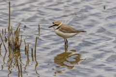 Kentish plover, S'Albufera