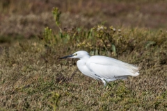 Little Egret near Thornham