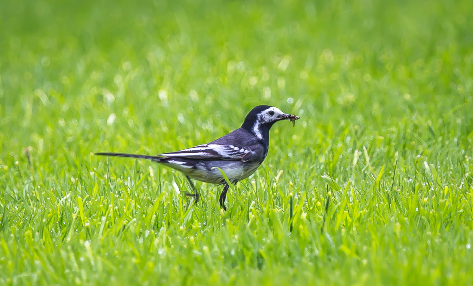Pied Wagtail in the garden