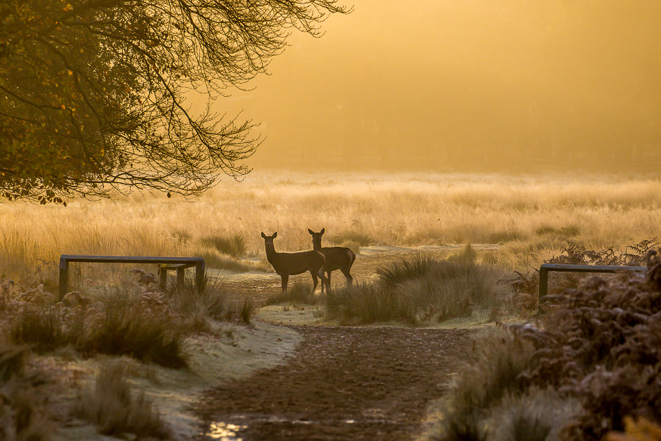 Richmond Park dawn
