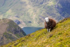 Herdwick above Buttermere