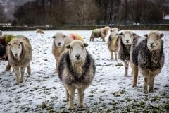 Sheep in Borrowdale