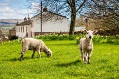 Sheep Eden Valley