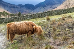 Highland cattle at Buttermere