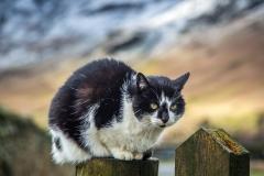 Cat near Buttermere