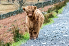 Highland cattle Buttermere