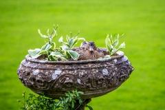 Nesting duck, Dalemain