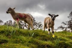 Lambs in Farndale