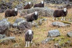 Herdwick sheep on Harter Fell