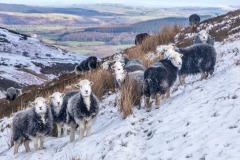 Herdwicks on Low Fell