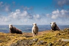 Herdwick sheep on Middle Fell
