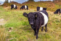 Belted Galloway, Tarn Hows