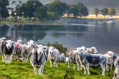 Herdwick sheep at the head of Buttermere