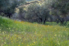 Olive grove in Andalucia